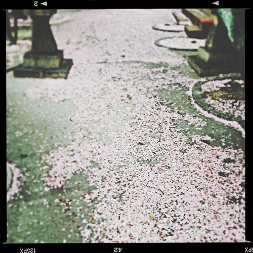 Sakura の絨毯