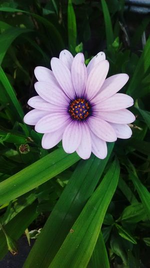 My mother's garden... 😍Flower Plant Nature Petal Beauty In Nature Day Flower Head No People Close-up Fragility Outdoors Freshness Osteospermum Eastern Purple Coneflower