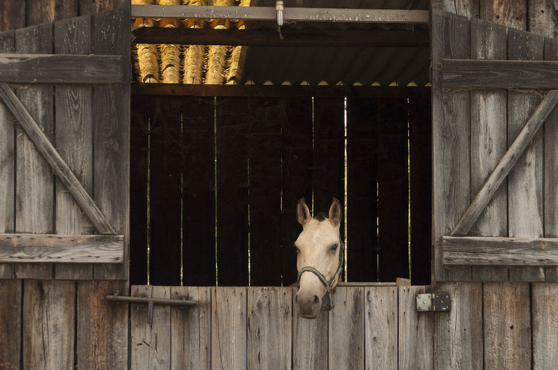Horse Peeking Through Stable