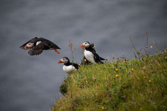 Puffins EyeEm Nature Lover Gasadalur Puffin Tadaa Community Animal Animal Themes Animal Wildlife Animals In The Wild Bird Cloud - Sky Day Faroe Islands Field Flying Group Of Animals Mid-air Nature No People Outdoors Plant Selective Focus Sky Spread Wings Two Animals Vertebrate