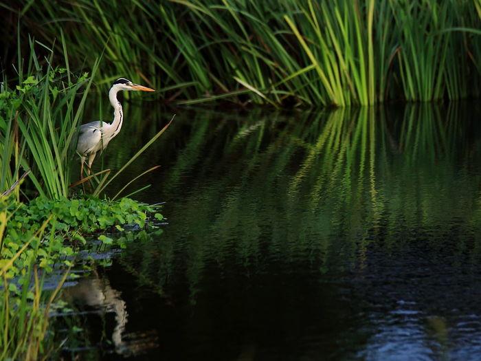 Gray heron at riverbank