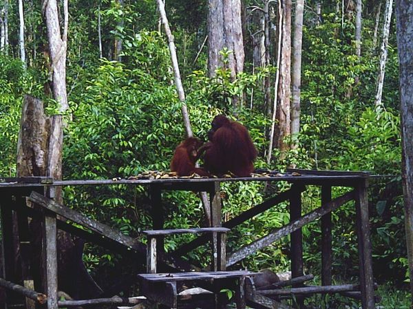 Orangutan feeding Wildlife