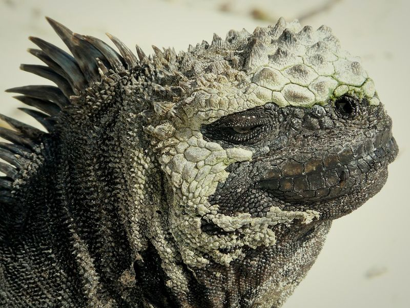 For me definitely one of the coolest creatures on earth. The punk or technically correct the only marine iguana endemic on the Galapagos Islands . Open Edit South Check This Out Punk Is Not Dead The Portraitist - 2015 EyeEm Awards