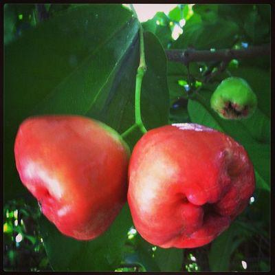 Gardening .Guava  . Harvestseason . Dad 'screation part 2. Inhouse . :)