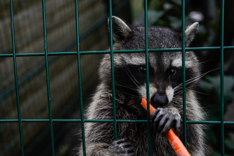 Close-up of racoon in cage at zoo
