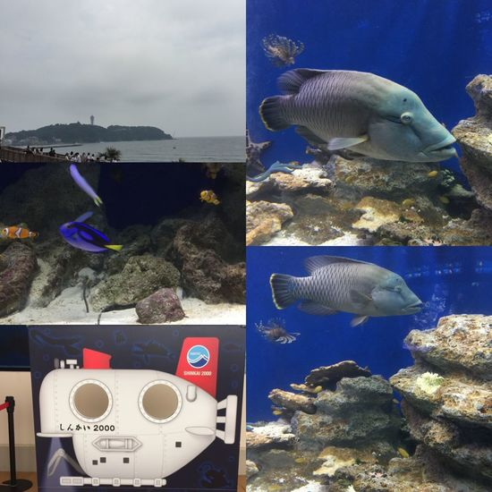 【えのすい】には、ナポレオンフィッシュもいました😊🐠『ニモ』の世界観も撮れた!笑 あと、大好きな顔ハメもあったよ〜👏🏼 新江ノ島水族館 えのすい 水族館 Aquarium ナポレオンフィッシュ チンアナゴ カクレクマノミ ニモ 顔ハメ