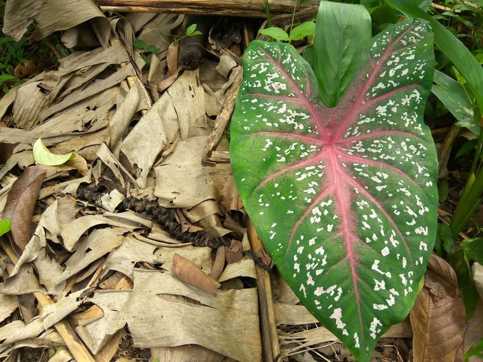 Caladium Bicolor Leaf High Angle View Day No People Green Color Outdoors Close-up Nature Plant Caladium Caladium Leaf Elephant Ear Plant Leaf Red Caladium Asian  INDONESIA Garden Jungle