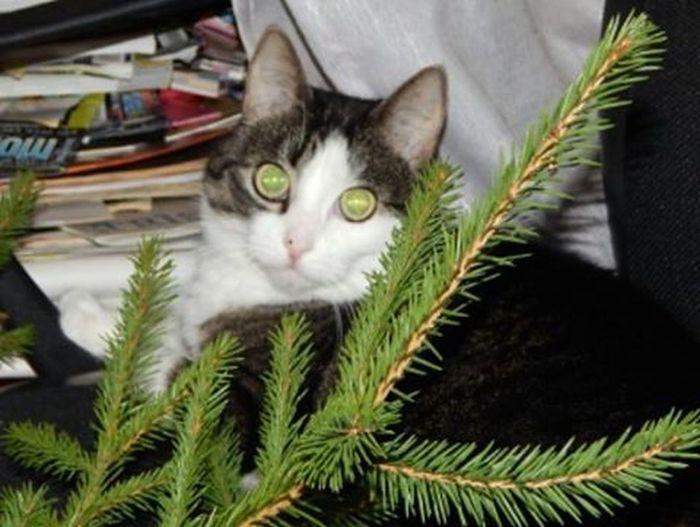 Esmu labi nomaskējies? Am I well-masked? Kaķis Cat Acis Eyes Egle Spruce Catseyes Dzivnieki Dzivnieks Animal Animals Koki Trees Koks Tree Green Green Eyes Green Green Green!  Green Color