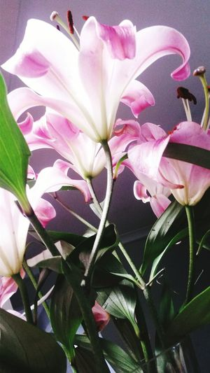 Lillies Flower
