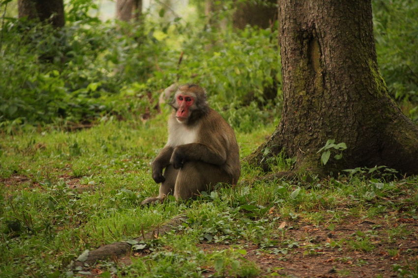 Nature Wildlife Tree Baboon Sitting Grass Japanese Macaque Monkey
