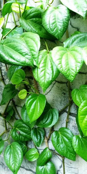 Betel Leaves Unedited Unfiltered Betel Leaf Asian Traditional Ritual To Welcome Guess Asian Chatting Companion Chewing Betel Getting High Getting Stoned Leaf Backgrounds High Angle View Full Frame Close-up Green Color Plant Leaf Vein
