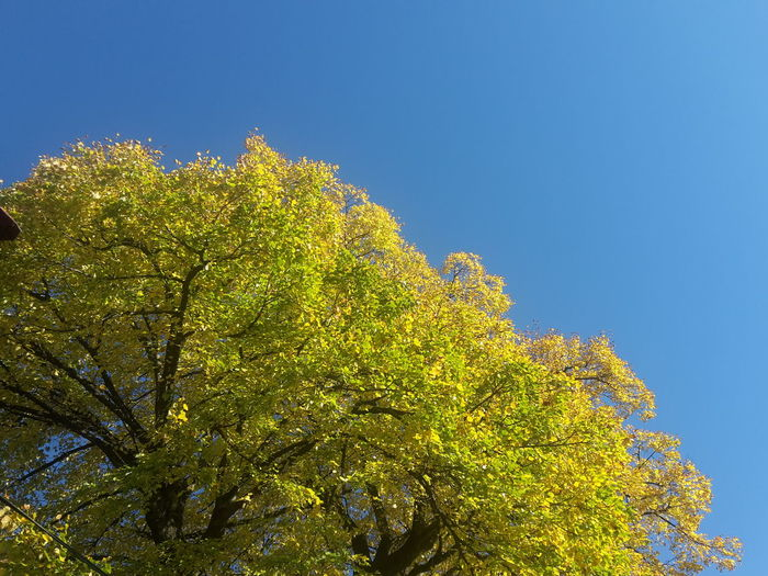Beauty In Nature Blue Clear Sky Close-up Day Fall Fall Beauty Fall Colors Fall Leaves Lime Tree Nature No People Outdoors Sky Tree Treetop