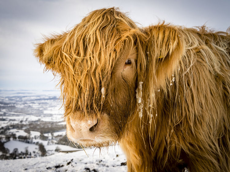 Scenes from Malvern after the early December 2017 snowfall. Britain Malvern Hills Snow ❄ Wintertime Animal Hair Animal Themes Close-up Cold Temperature Day Domestic Animals Highland Cattle Livestock Mammal Nature No People One Animal Outdoors Snow Snowfall Uk Winter Worcestershire