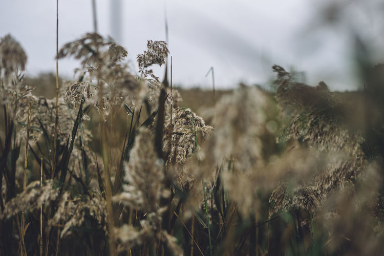 grasses in the rain Plant Growth Field Nature Day Land Tranquility Selective Focus Beauty In Nature No People Close-up Agriculture Outdoors Tranquil Scene Landscape Sky Focus On Foreground Crop  Environment Plant Stem