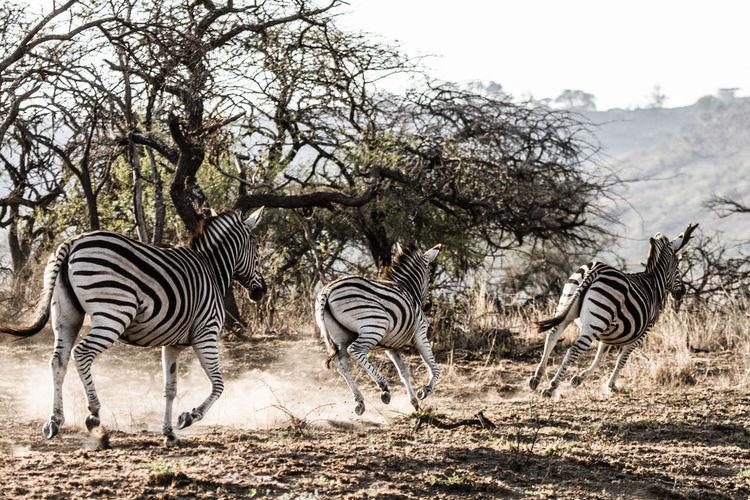 Zebra Zebra Crossing Zebra Stripes Safari Animals Game Reserve Game Reserve Photography Wildlife & Nature Striped Animal Wildlife Group Of Animals Animal Animals In The Wild Safari Vertebrate Animal Markings Herd Animals Roaming Animals In The Wild Dust