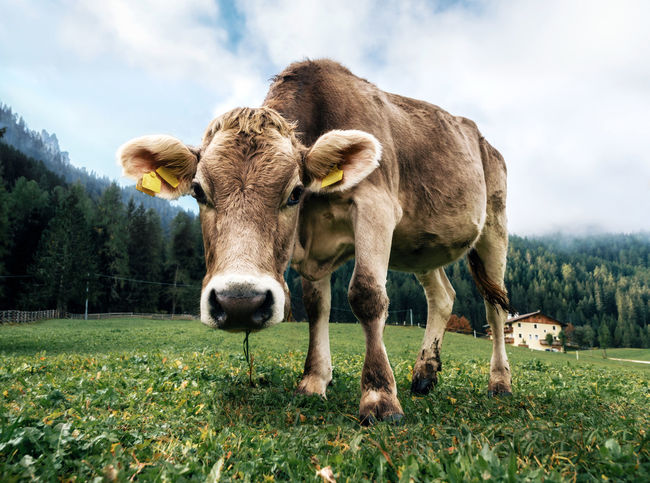 Brown cow grazing in an alpine meadow close up looking the camera in Italy Alpine Alps Animal Animal Themes Cow Domestic Domestic Animals Field Grass Land Livestock Mammal Nature Outdoors Plant Visual Creativity