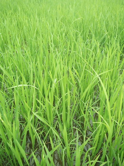 Paddy Paddy Field Green Color Green Green Green Green! Grassy Smell Like Earth Scenery Scenery Shots Gra