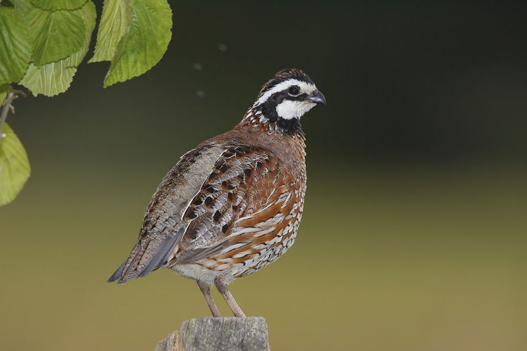 Northern Bobwhite Colinus Virginianus Northern Bobwhite Virginiawachtel Animal Themes Animal Wildlife Animals In The Wild Bird Day Nature No People One Animal Outdoors