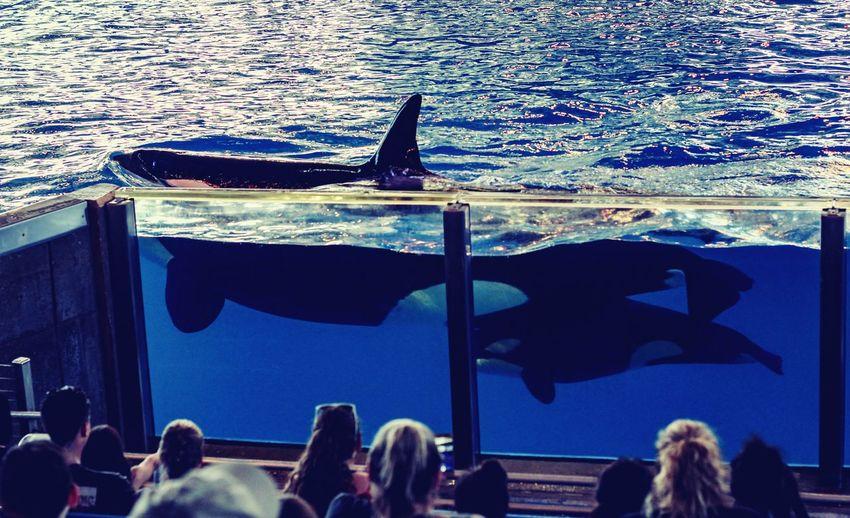 Sea Crowd UnderSea Orcas Baby Orca People Killer Whale Sea World San Antonio, TX