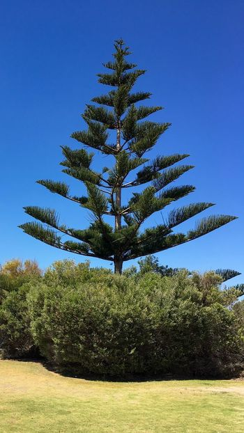 Solitary pine tree in a courtyard. Spruce Tree Christmas Tree Western Australia Rockingham Shoalwater Islands Marine Park Travel Destination Lovely Weather Outdoors Scenics Low Angle View No People Palm Tree Beauty In Nature Nature Growth Tree Plant Green Color October 2016 Day Sky Blue Clear Sky Courtyard  Shrubbery Pine Tree Solitude Solitary