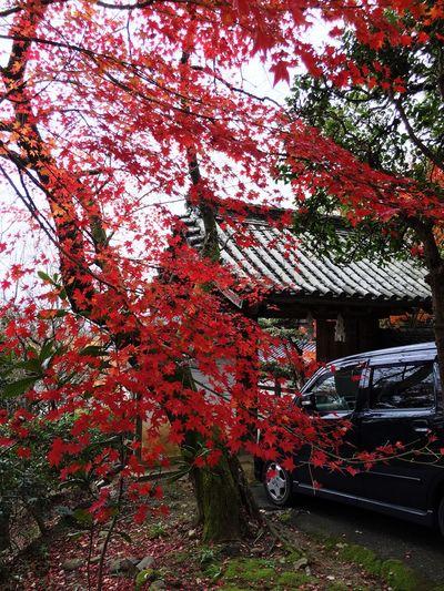 金毘羅さん 紅葉