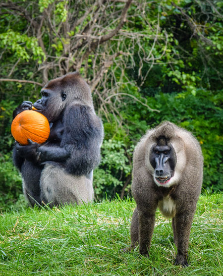 Animals Ape Baboon Day Grass Mammal Monkey Primate Pumpkin Sitting Togetherness Zoo