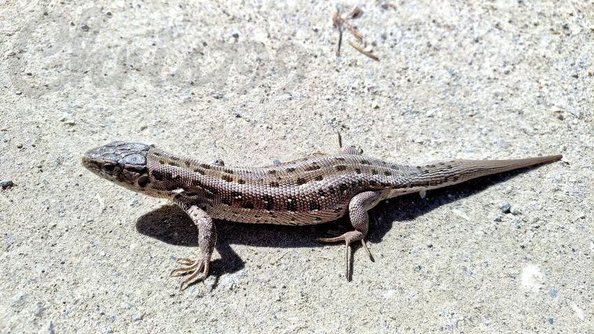 Lizard on the mountain street...One Animal Animal Themes Animals In The Wild Day Sand Outdoors Shadow Sunlight Animal Wildlife No People Insect Reptile Nature Close-up Lizard Lizard Close Up Lizardlife Lizaratravelphotography