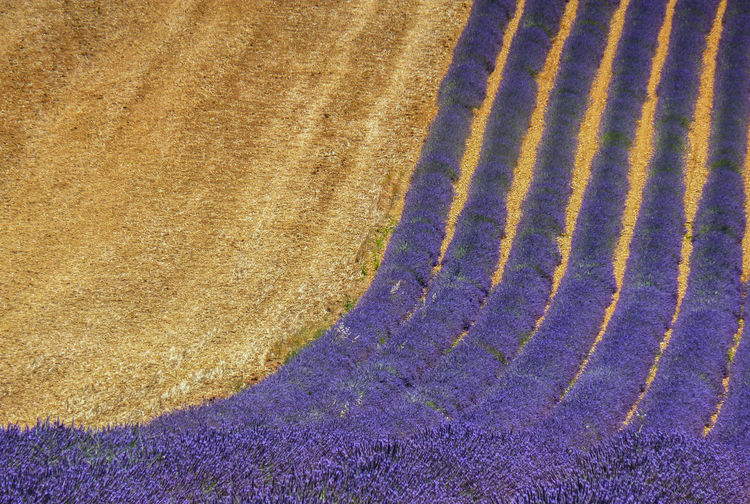 Agriculture Backgrounds Beauty In Nature Crop  Day Daylight Field Field High Angle View Lavender Multi Colored Nature No People Outdoors Purple Rural Scene