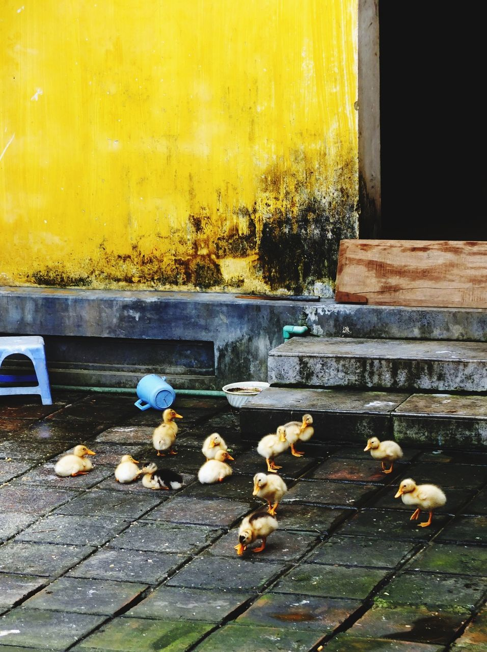 Young chickens on the ground against yellow wall
