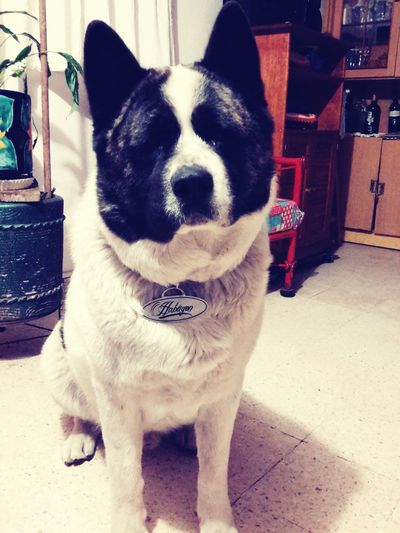 My love ? Dog Love Dog Ilovemydog Akita American Akita Akita4ever Akitalover Pets First Eyeem Photo