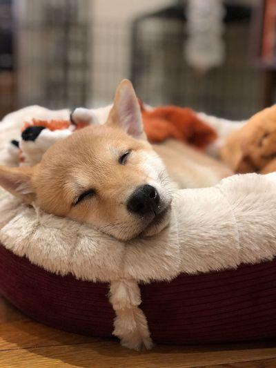Shiba Inu Puppy Dodge Shiba Shiba Inu One Animal Mammal Domestic Canine Domestic Animals Focus On Foreground Relaxation Resting No People Close-up