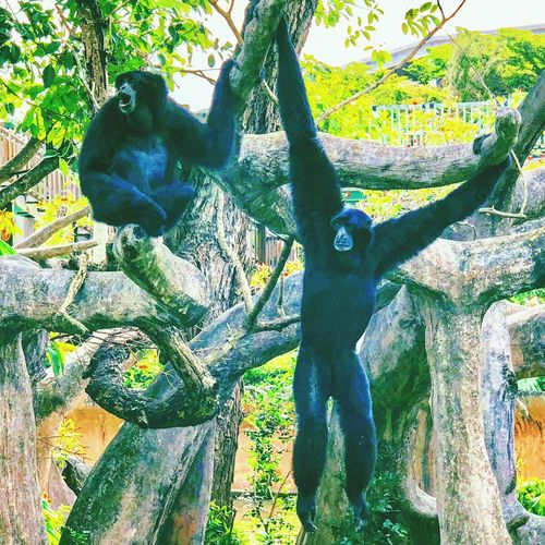 Hanging out together... Animals In The Wild Animal Themes Tree Mammal Animal Wildlife No People Day Chimpanzee One Animal Monkey Zoo Nature Branch Ape Tree Trunk Wildlife Forest Outdoors Green Color
