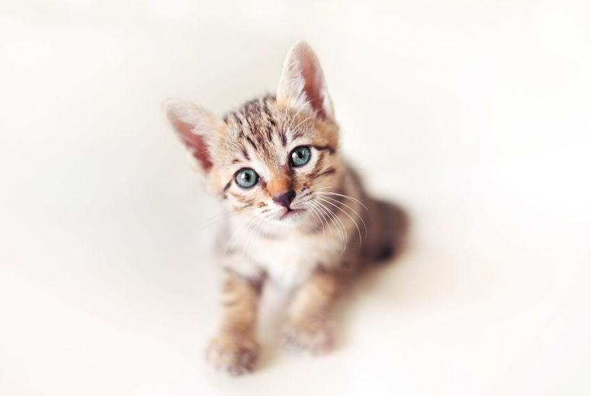 Domestic Cat Portrait Pets Animal Themes Cat Fluffy Babycat Eyeblue