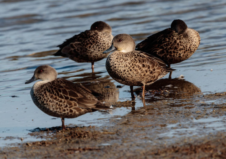The grey teal is small, slim, 'plain-faced' duck, considerably smaller than a mallard or grey duck. It is mostly grey-brown in colour with pale cheeks, chin and throat. The eye is bright crimson, especially in adult males, and the bill is dark grey. Immature birds have a duller red eye. Wings are dark brown with the primaries darker brown, a broad green speculum on the secondaries, and a white stripe on the inner wing, just in front of the speculum. http://nzbirdsonline.org.nz/species/grey-teal Water Bird Nature Duck Grey Teal Waikouaiti New Zealand EyeEm