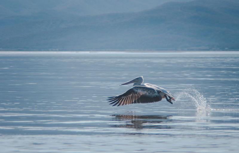 Pelican flying over kerkini lake