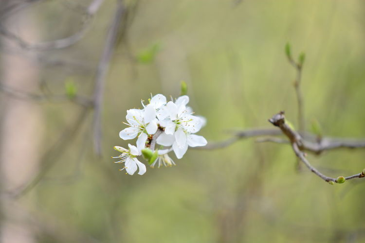 Flower Flowering Plant Plant Beauty In Nature Fragility Vulnerability  Growth Freshness Close-up Nature Petal White Color Focus On Foreground Inflorescence No People Tree Flower Head Day Outdoors Branch Springtime Cherry Blossom