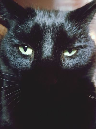 Cat Black Black