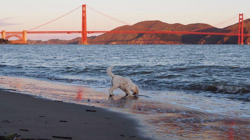 Golden Gate Bridge Goldendoodles