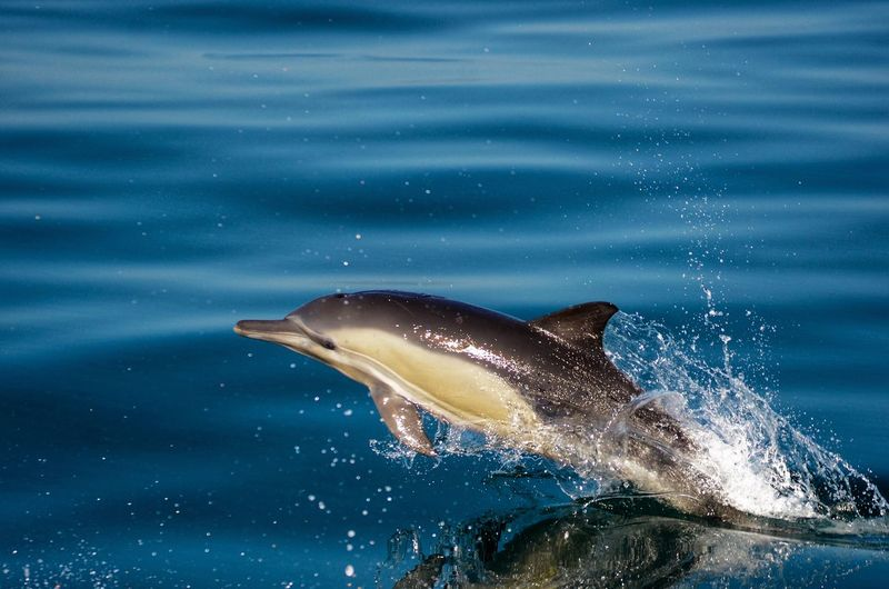 Single dolphin jumping out of deep blue sea water in sunlight