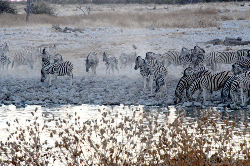 Namibia Animals In The Wild Animal Themes Animal Group Of Animals Animal Wildlife Water Zebra Mammal Striped No People Large Group Of Animals Vertebrate Nature Day Herd Safari Lake Drinking Zebra