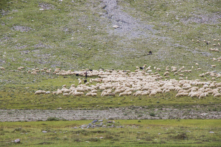 View of sheep on land
