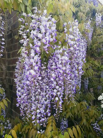 Wisteria Wisteria On House Wisteria Flowers Wisteria In Full Bloom Flower Flowers On The Wall Garden Wall Garden Flowers Climbing Plant Hanging Abundance Scented Freshness Nature Beauty In Nature Growth Close-up P9 Outdoors Spring Flowers Garden Close Up Wall And Flowers Kew Gardens