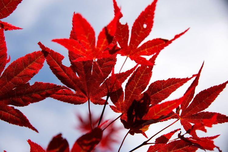 Red. Redplant RedLeaves Red Nature Nature Photography Nikon Nikonphotography Nikond600 Tamron2470 Vegetation EyeEm Nature Lover EyeEm Gallery Ihreviken Ihrekvarn Gotland Sweden