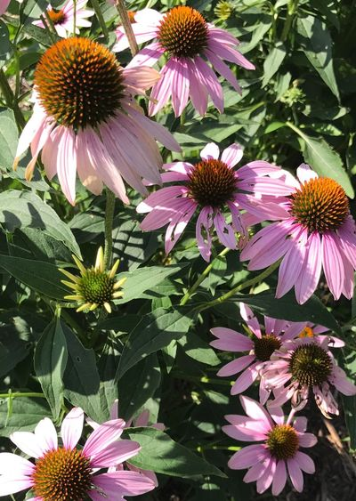 High angle view of purple coneflower blooming in park