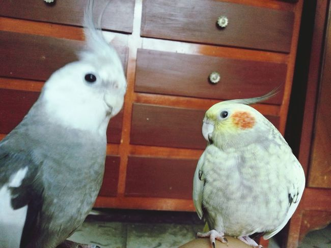 Ilovemybird Bird Ninfa