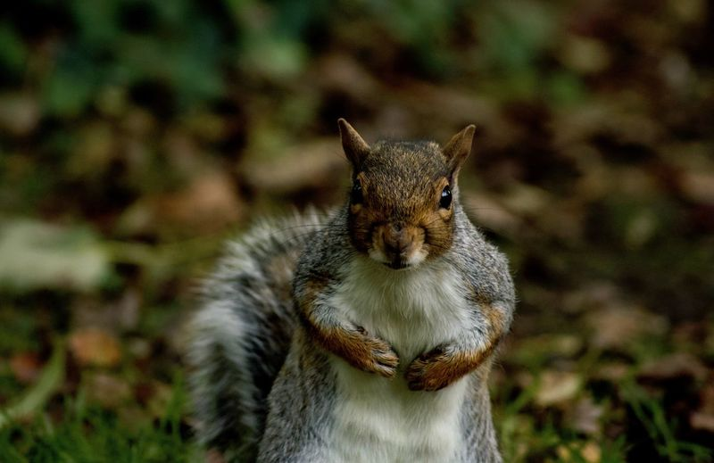 Mammal One Animal Animal Wildlife Focus On Foreground Animals In The Wild Land Day No People Vertebrate Close-up Nature Squirrel Rodent Portrait Outdoors Whisker Autumn Cute Fall Seasonal WoodLand Woods Animal