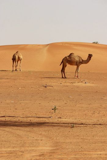 Arabian desert roaming. UAE EyeEm Selects Desert Sand Dune Sand Arid Climate Animal Themes Nature Clear Sky Standing Day Sky Landscape Mammal Outdoors Animals In The Wild Scenics Safari Animals Domestic Animals No People