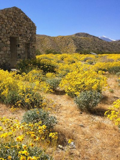 Mission Creek Preserve in the low desert near Palm Springs, CA. Historic Places Nature Outdoors Yellow No People Flower Built Structure Beauty In Nature Hstimko Low Dessert Superbloom Brittlebush Brittle Bush Southern California Southwest Desert Landscapes Mission Creek Desert Southwest Betterlandscapes