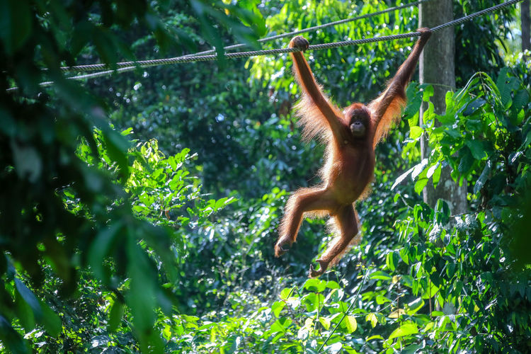 Malaysia Borneo Rainforest Wild Animal Orang Utan Monkey Animal Wildlife Primate Monkey Animal Themes Tree Animal Animals In The Wild Mammal Plant Vertebrate Nature Day No People Outdoors Cute Orangutan Jungle Rainforest Wildlife Nature Borneo Climbing Forest Malaysia Pongo Endangered Species Hairstyle Hair Orange Color Tropical Climate Portrait Brown ASIA Expression Species Hominid Young Animal Baby Leaves Furniture Wilderness Tree Fauna Backgrounds Branch Green EyeEm Nature Lover EyeEm Selects EyeEm EyeEm Animal Lover