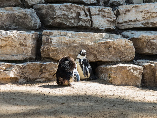 Two African penguins stand and rest on a sunny afternoon Nature Ape Business Eating Grass National Park Ramat Gan - Tel Aviv Travel View Zoo Adaptation Animal Themes Attraction Biology Day Environment Israel Mammal Nature Population Predator Reserve Safari Tourism Wildlife